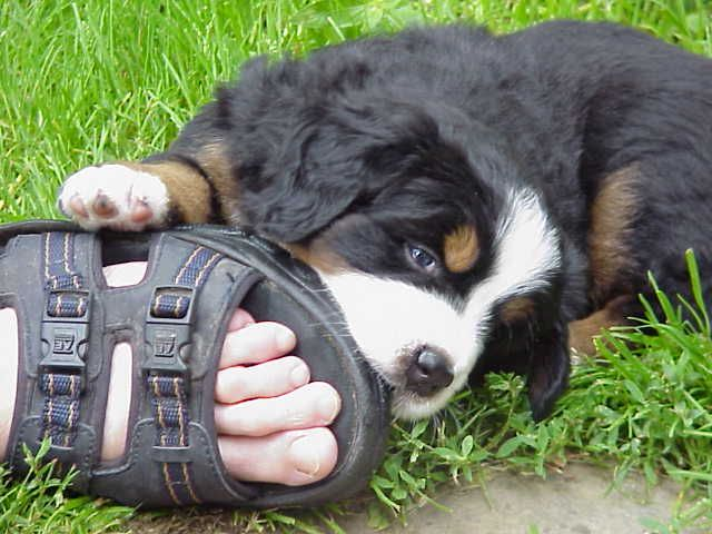 Cabot chewing a shoe